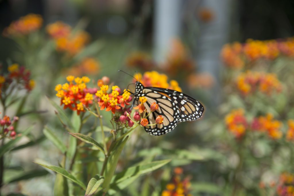 A monarch butterfly stops on a flower at the Natural History Museum of Los Angeles County. The museum's gardens feature many plants that support butterflies, bees and other pollinators.