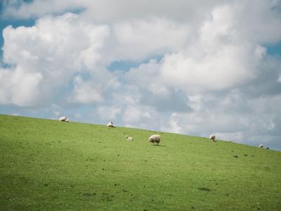 Sheep in Open Field Under Cloudy Blue Sky