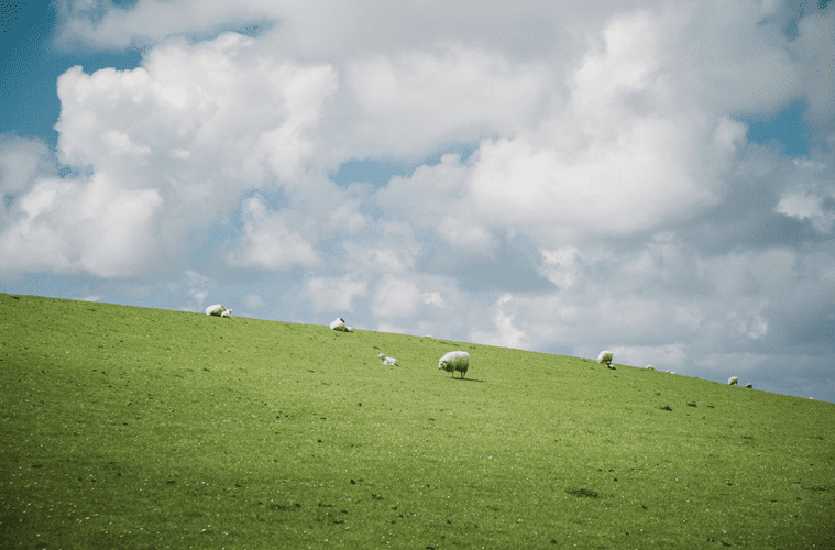Sheep in Open Field Under Cloudy Blue Sky