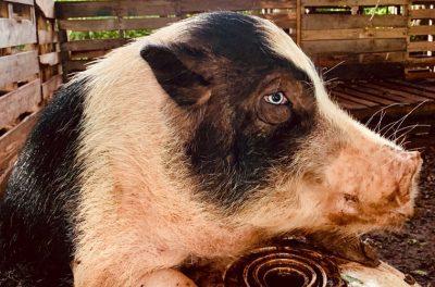 Closeup of Pig at Homelani Homestead